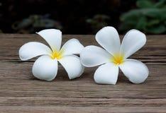 Witte plumeria of alba of Leelawadee-bloem Stock Fotografie