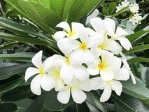 Witte Plumeria-Bloem royalty-vrije stock afbeelding
