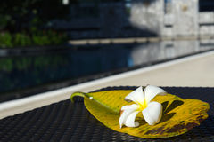 Witte Plumeria-bloem met zijn groot blad op het lijst dichtbij zwembad Royalty-vrije Stock Foto's