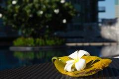Witte Plumeria-bloem met zijn groot blad op het lijst dichtbij zwembad Stock Foto's