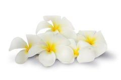 Witte Plumeria-bloem over groene bladeren op witte achtergrond Stock Fotografie