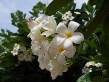 Witte Plumeria Flowers_ 2 stock afbeelding