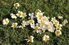 Witte Plumeria op de grasvloer Stock Foto