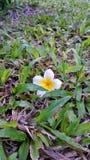 Witte Plumeria op gebied Royalty-vrije Stock Afbeeldingen