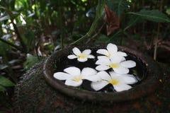 Witte Plumeria in Waterkom bij tropische tuin Royalty-vrije Stock Afbeelding