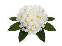 Witte plumeriabloem die op witte achtergrond wordt verfraaid Royalty-vrije Stock Fotografie