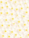 Witte plumeriabloemen Royalty-vrije Stock Afbeelding