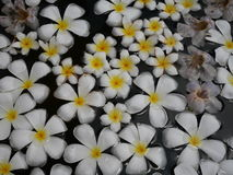 Witte plumeriabloemen stock foto