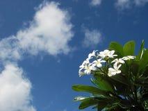 Witte plumeriabloemen en blauwe hemel Stock Foto