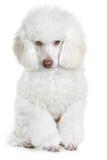 Witte poedel Royalty-vrije Stock Afbeeldingen
