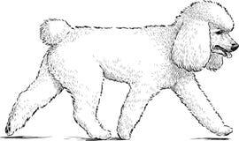 Witte poedel Stock Foto