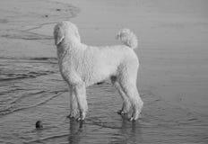 Witte poedel op strand Royalty-vrije Stock Afbeeldingen