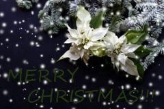 Witte poinsettiabloem met spar en sneeuw op donkere achtergrond Groetenkerstkaart prentbriefkaar christmastime Rood wit stock fotografie