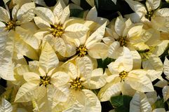Witte poinsettiabloemen Stock Foto's