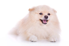 Witte pomeranian puppyhond Royalty-vrije Stock Afbeelding