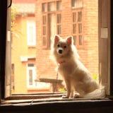 Witte pomeranian spitz hond stock afbeeldingen