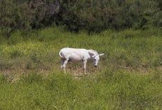 Witte poney Stock Foto's