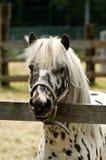 Witte poney gespikkelde bruin stock afbeelding
