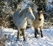 Witte poneys in de sneeuw Royalty-vrije Stock Foto