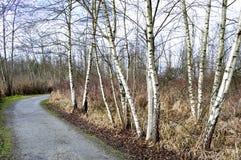 Witte populierbomen in de winter Stock Foto's