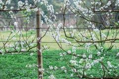Witte pruim mooie en leuke uiterst kleine bloesem stock fotografie