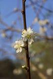 Witte pruimbloemen Stock Afbeeldingen