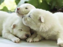 Witte puppy stock afbeeldingen