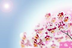 Witte purpere bevlekte orchideebloemen op gradiënt Royalty-vrije Stock Afbeeldingen
