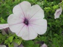 Witte purpere bloem Stock Afbeelding