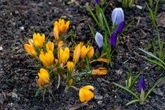 Witte, purpere en gele de krokusbloemen van de de lentebloei Stock Afbeeldingen