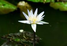 Witte purpere lotusbloembloem Stock Afbeeldingen