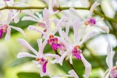 Witte purpere orchidee, Arachnostylis Chorchalood Royalty-vrije Stock Afbeeldingen