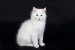 Witte Ragdoll-kat Stock Afbeelding