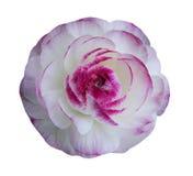 Witte Ranunculus bloemen royalty-vrije stock foto's