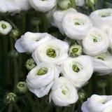 Witte ranunculus (Perzische boterbloem) stock foto
