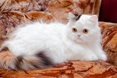 Witte rasechte kat op bank Stock Afbeelding
