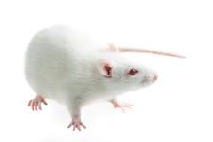 Witte rat Royalty-vrije Stock Fotografie