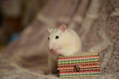 Witte rat en doos Stock Fotografie