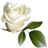 Witte realistisch nam bloem en bladeren toe Stock Afbeeldingen