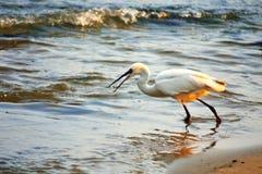 Witte reiger die op het strand vissen Royalty-vrije Stock Afbeelding