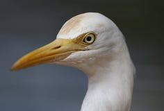 Witte Reiger in Kuala Lumpur Bird Park Stock Fotografie