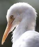 Witte Reiger in Kuala Lumpur Bird Park Royalty-vrije Stock Afbeeldingen
