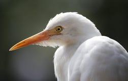 Witte Reiger in Kuala Lumpur Bird Park Royalty-vrije Stock Afbeelding