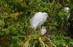 Witte Reiger met kuiken in nest stock afbeelding
