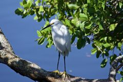 Witte Reiger op een tak door het water stock fotografie