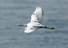 Witte reiger tijdens de vlucht Royalty-vrije Stock Afbeeldingen