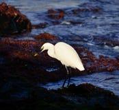 Witte Reiger visserij Stock Foto's