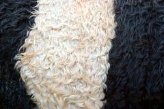 Witte Riem op een Omgorde Koe Stock Foto