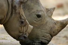 Witte Rinoceros Stock Fotografie