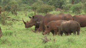 Witte rinoceros stock footage